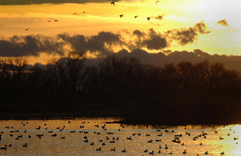 Ducks at sunrise on Putah Creek