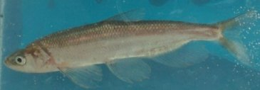 Longfin smelt incidental take order and management documents photo