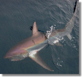 Thresher shark. Photo by Ann Coleman, NOAA Fisheries, SWFSC.