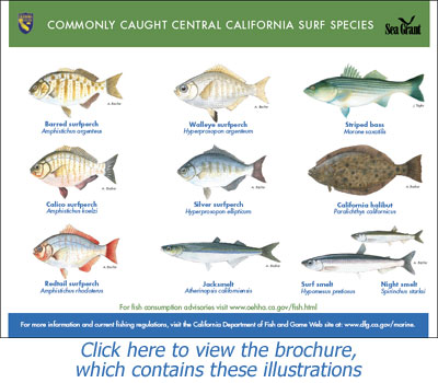 Commonly Caught Central California Surf Species
