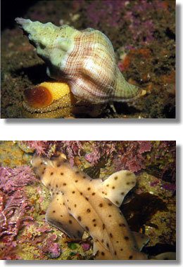 Kellet's Whelk (CDFW file photo) and Hornshark (Photograph courtesy of Derek Stein).